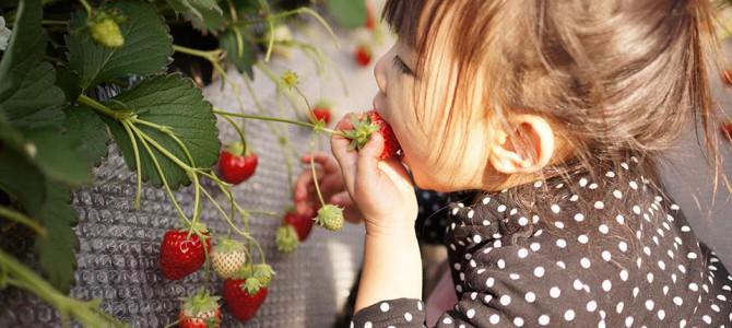今日はイチゴ祭りだぞ!イチゴ狩り@三崎口で甘い汁を吸ってきた!